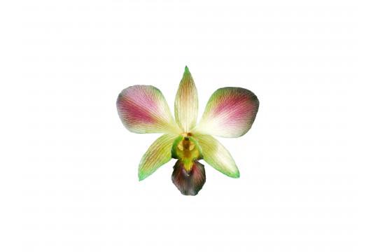Orchidea Viola e Verde