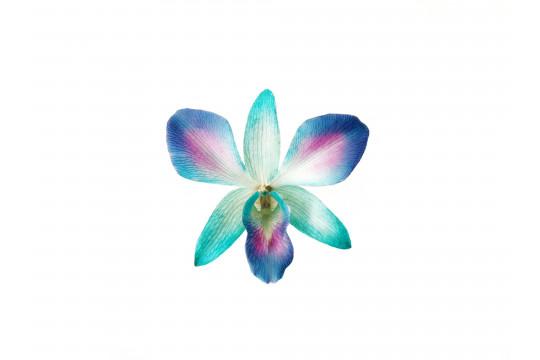 Orchidea Viola e Blu