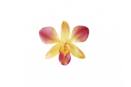 Orchidea Viola e Gialla
